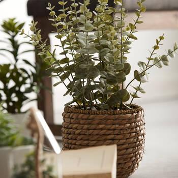 Eucalyptus in Rattan Pot