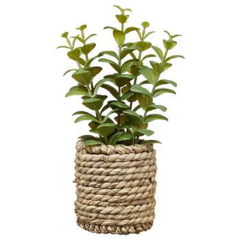 Ficoïde à feuilles en cœur avec pot de rotin