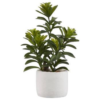 Cassia Tree in Cement Pot