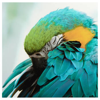 Sleeping Macaw Printed Canvas