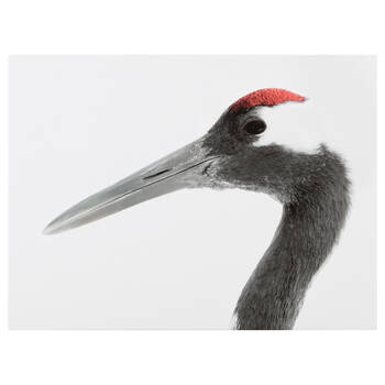 Red-Crowned Crane Printed Canvas