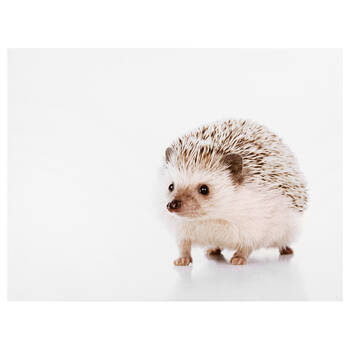 Hedgehog Printed Canvas