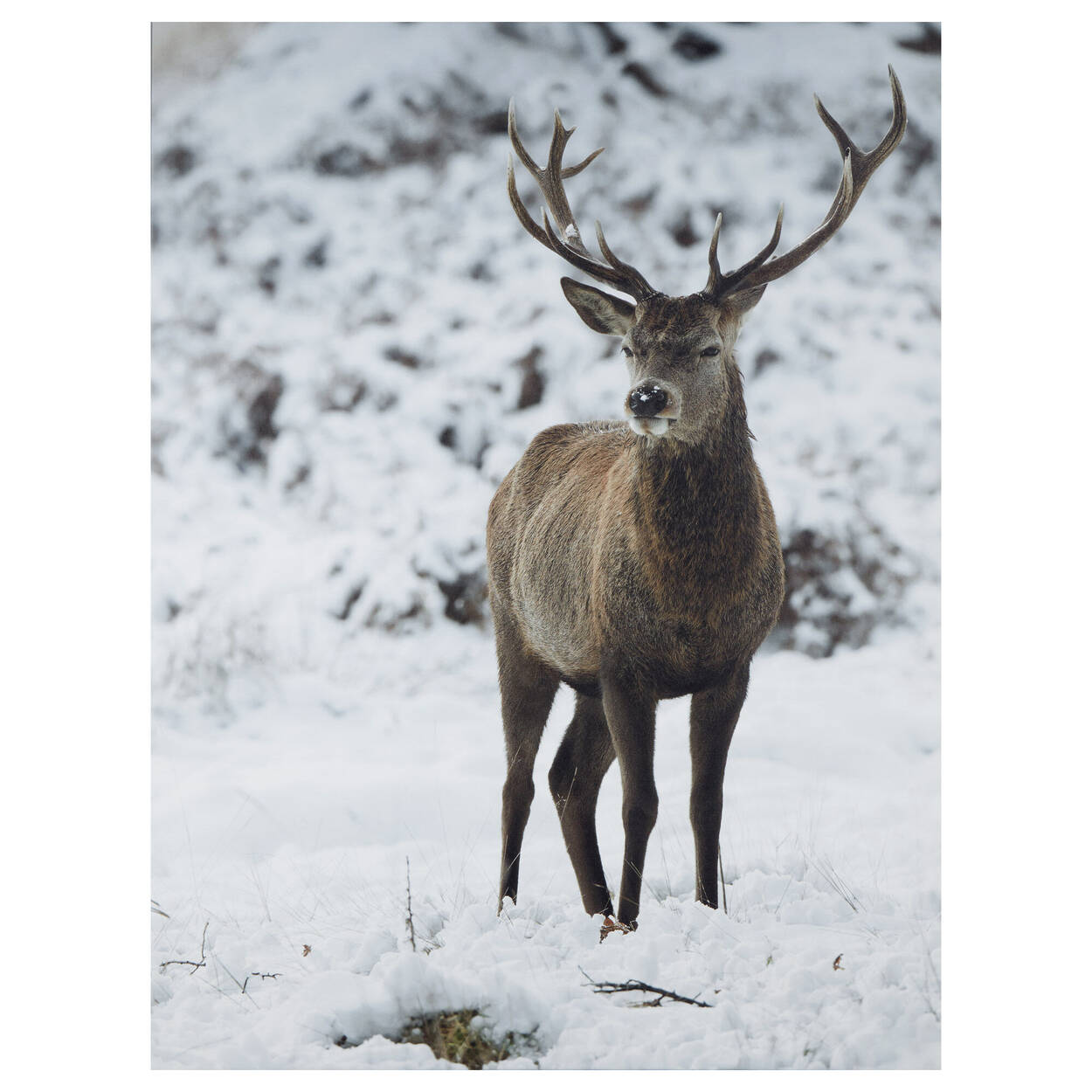 Deer in Winter Printed Canvas