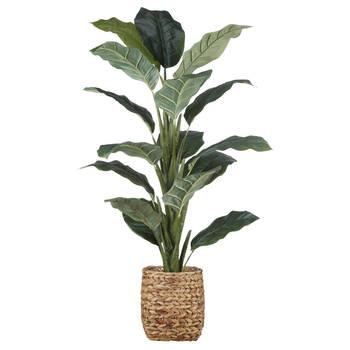 Ficus en pot de rotin