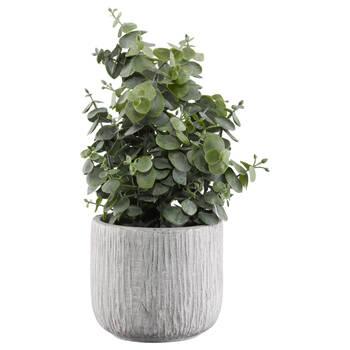 Eucalyptus dans pot en ciment rayé