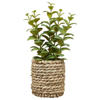 Apple Succulent in Rattan Pot