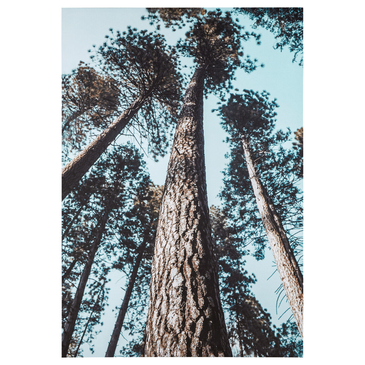 Tall Trees Printed Canvas