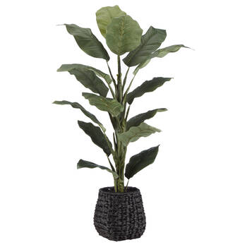 Ficus en pot de rotin noir