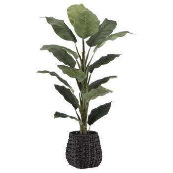 Ficus in Black Rattan Pot