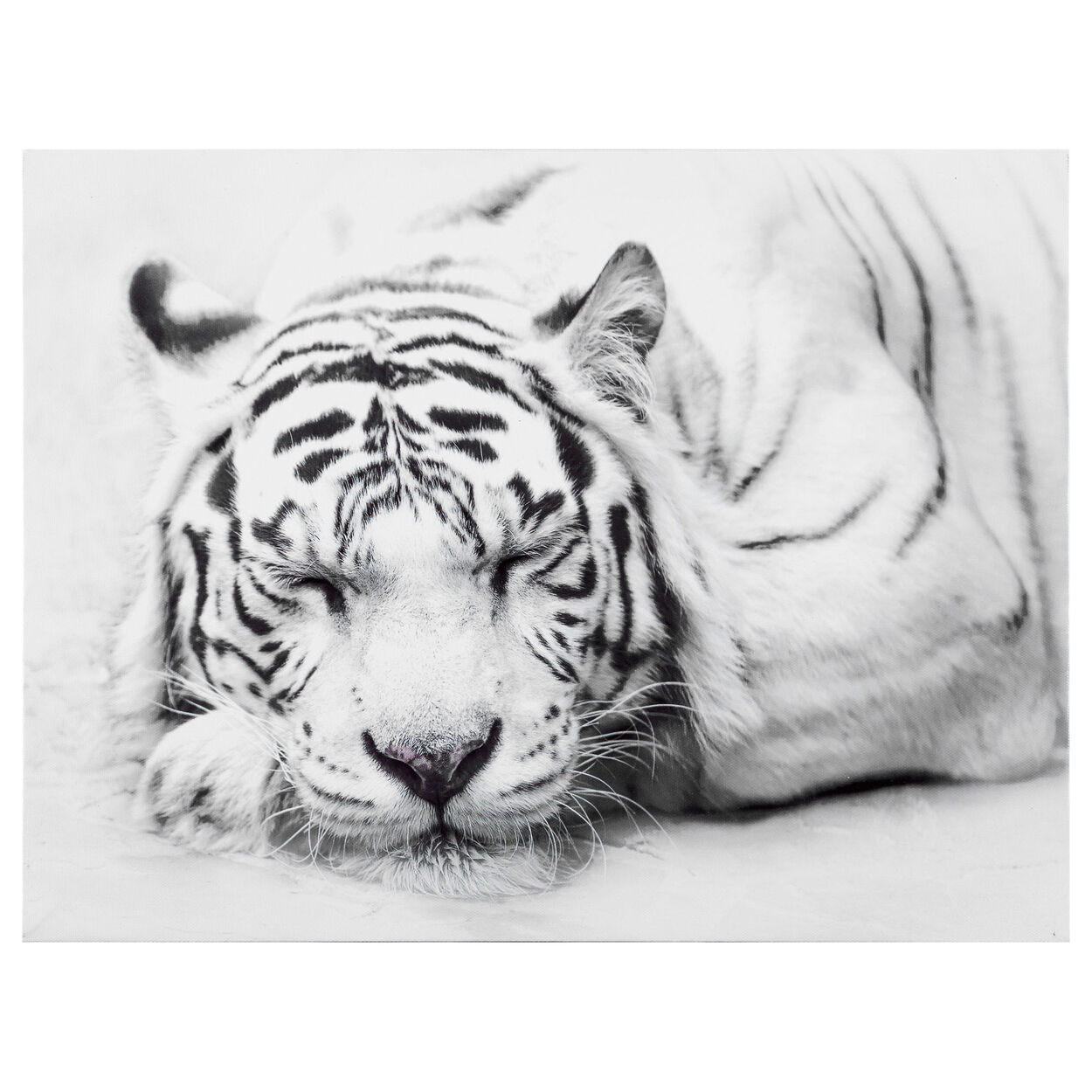 Sleepy White Tiger Printed Canvas
