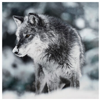 Wolf Printed Canvas