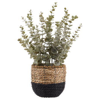 Eucalyptus in 2-Tone Rattan Pot