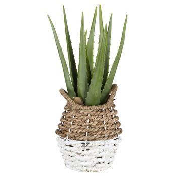 Aloe in Two-Toned Rattan Basket