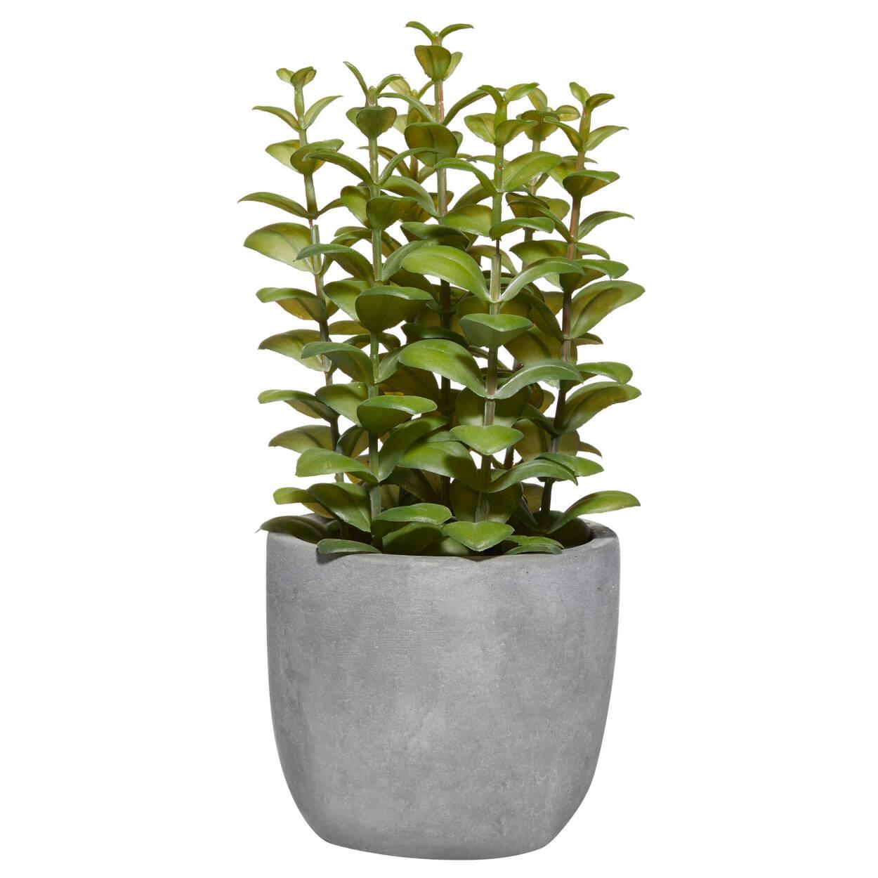 Ficoïde à feuilles en cœur avec pot en ciment