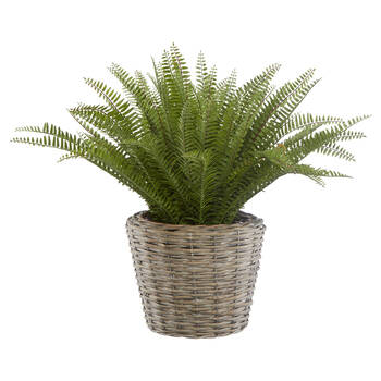 Fern in Rattan Pot