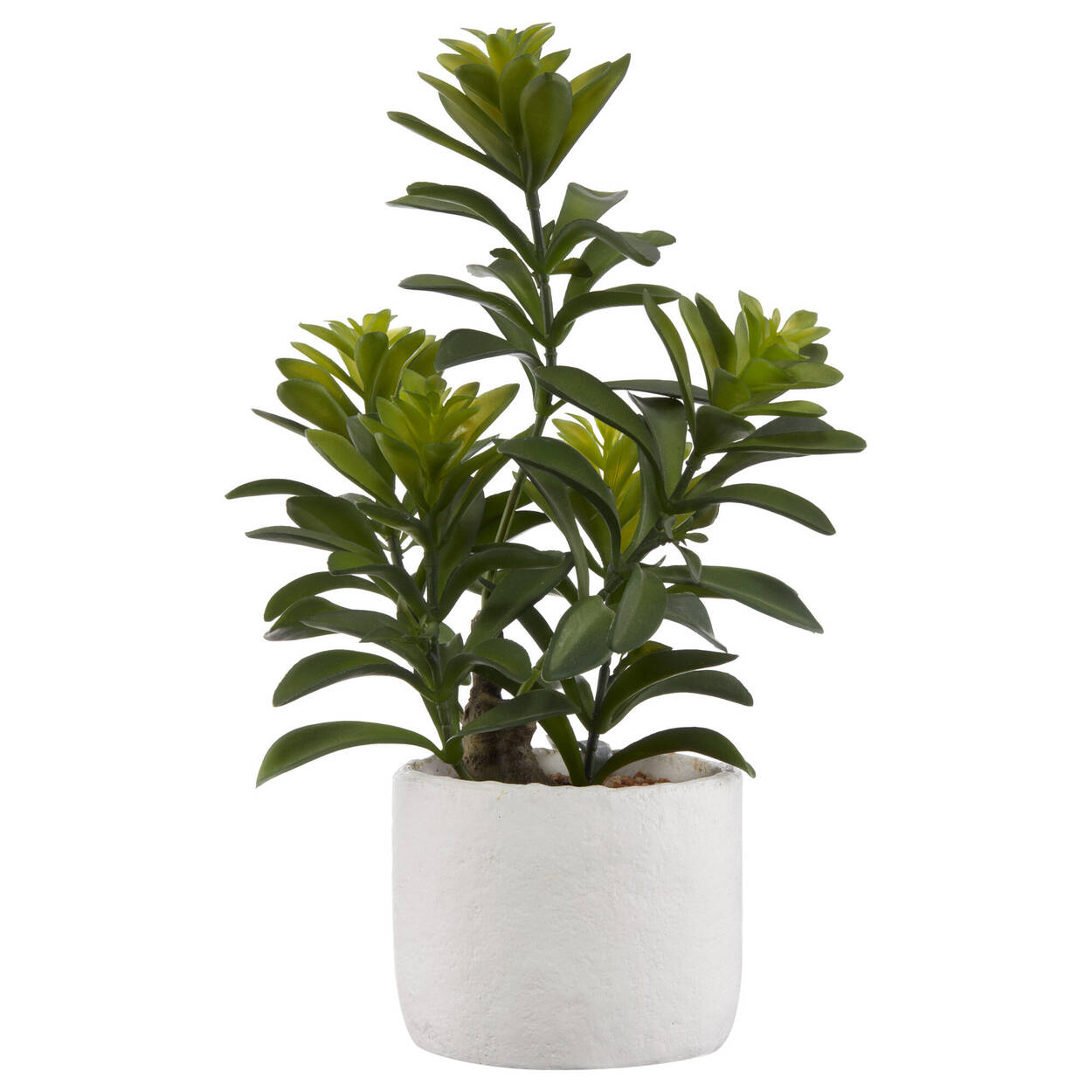 Arbre Cassia dans pot en ciment