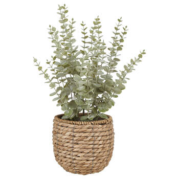 Eucalyptus in Rattan Pot