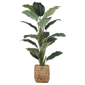 Ficus in Rattan Pot