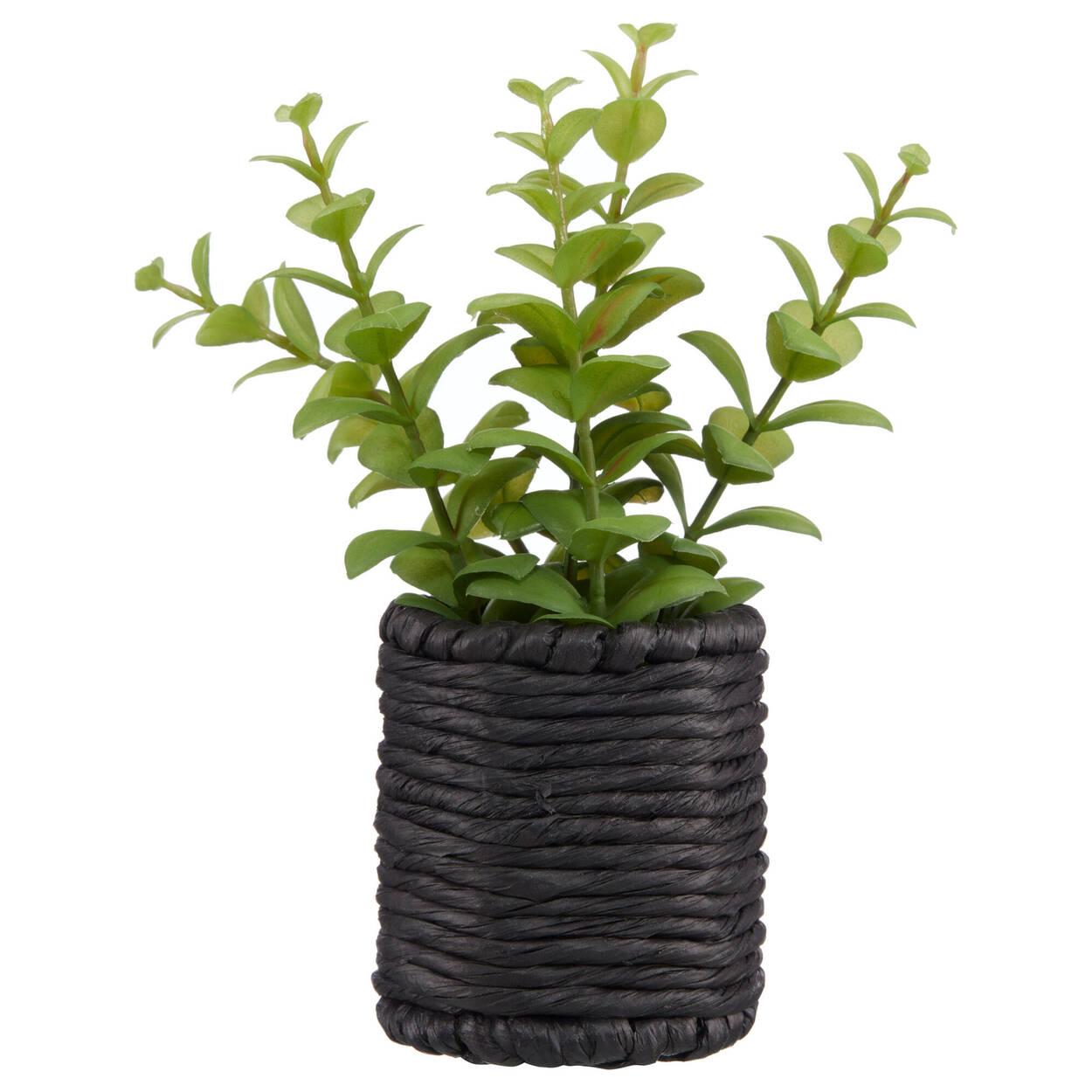 Eucalyptus in Black Rattan Pot